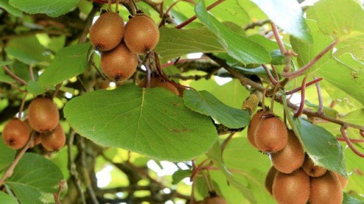 Kiwifruit Mobilisation Programme